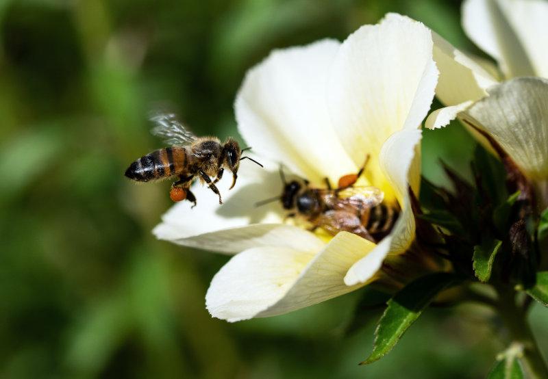 Bienen bestäuben eine Blume