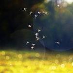 Mueckenschwarm
