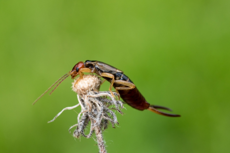 Ein Ohrwurm ist ein potenzieller Bewohner eines Insektenhotels.