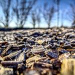Rindenmulch schützt vor Frost
