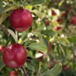 apfel-baum-blaetter-frucht