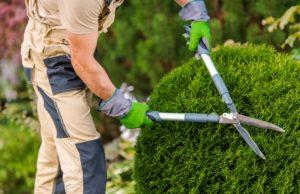 Ein Gärtner stutzt einen Buchsbaum mit Hilfe einer Hand Strauchschere.