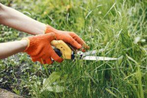 Eine Handgrasschere schneidet hohes Gras