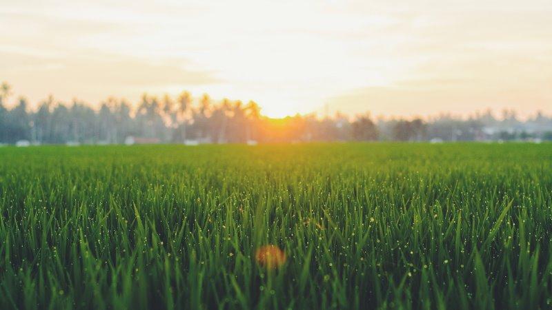 Grüner Rasen bei Sonnenaufgang