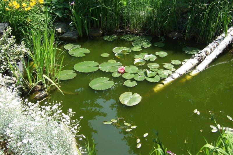 Teich mit viel Algenwachstum