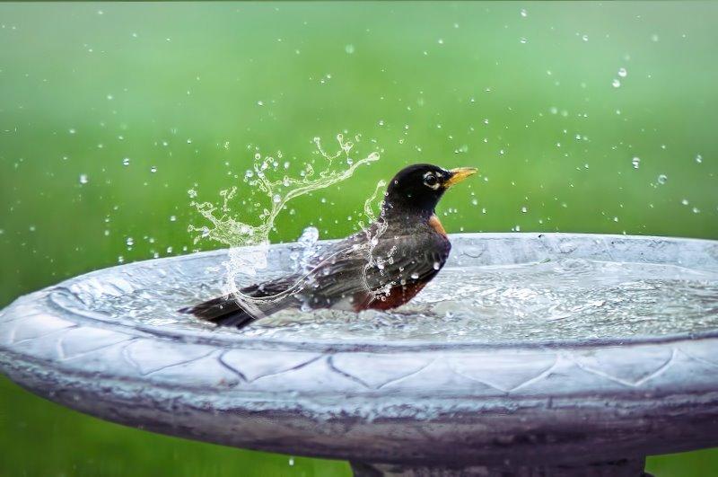 Vogel in einer Vogeltränke