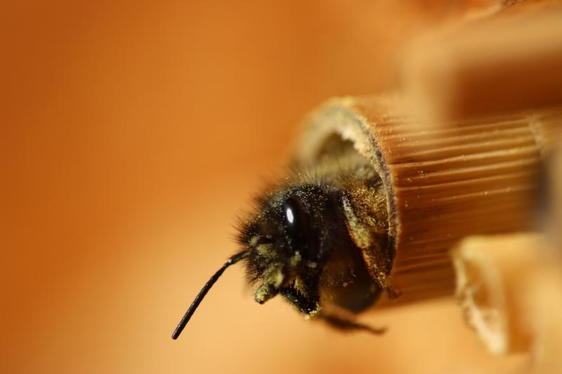 Wildbiene schaut aus Baumbusröhre im Insektenhotel