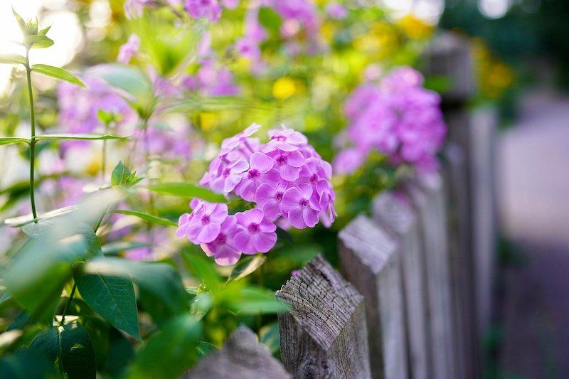 Holzzaun mit Blume im Garten