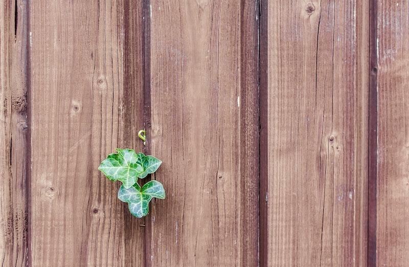 Efeu an einem Holzzaun