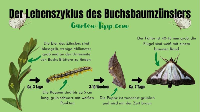 Darstellung des Lebenszyklus des Zünslers