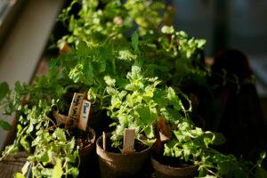Verschiedene Kräuter bereit zum einpflanzen