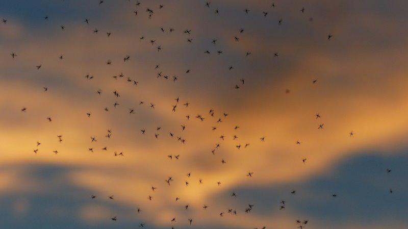 Viele Mücken schwirren herum.