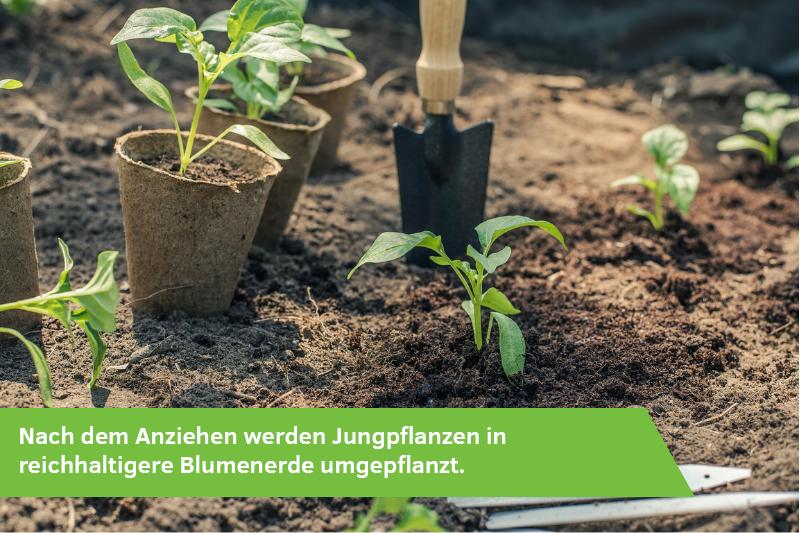 Jungpflanzen stehen im Garten und werden umgepflanzt